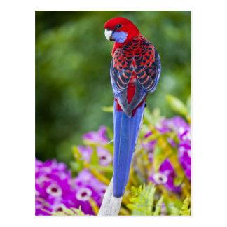 Crimson Rosella & backdrop of orchids Lamington Postcard
