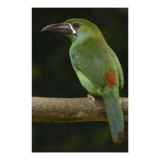 Crimson-rumped Toucanet bird Aulacorhynchus Photo Print