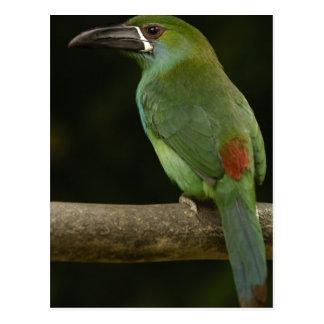 Crimson-rumped Toucanet bird Aulacorhynchus Post Cards