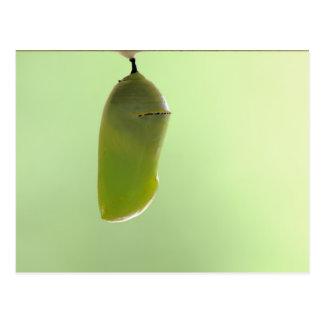 Crisálida del monarca tarjetas postales