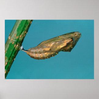 Crisálidas de la mariposa de monarca africana póster