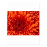 Crisantemo Postal