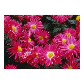 Crisantemo rojo 'Priscilla Comunicado Personal