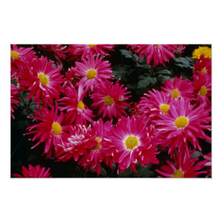 Crisantemo rojo 'Priscilla Póster