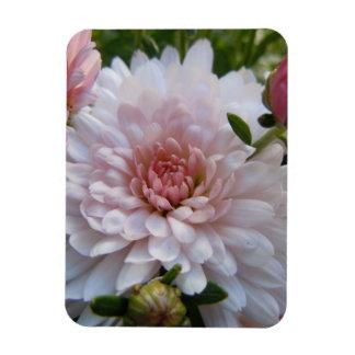 Crisantemo rosado suave imanes de vinilo