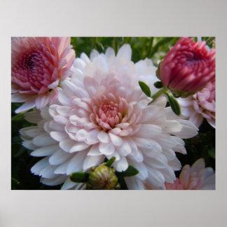 Crisantemo rosado suave impresiones