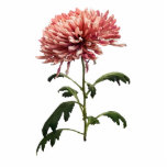 Crisantemo Shelbers Escultura Fotografica