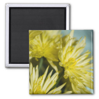 crisantemos amarillos imán cuadrado