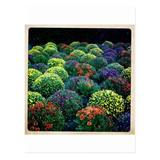 Crisantemos florecientes del invierno en Park Aven Tarjetas Postales
