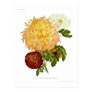 Crisantemos Postales