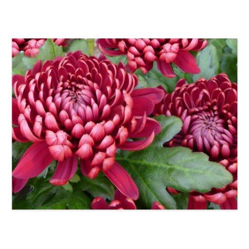 Crisantemos rojos postal