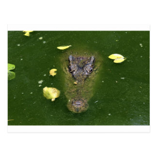 Crocodile green swamp postcard