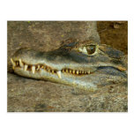 Crocodile Head Postcard