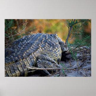 Crocodile on Land Poster