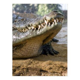 crocodile postcard