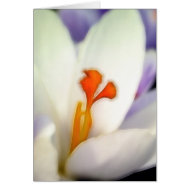 Crocus Flower in Early Spring card