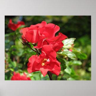 Crocus Rose 211 Print