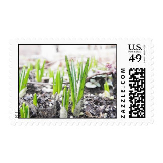 Crocus Sprouts In The Spring Garden Postage Stamps
