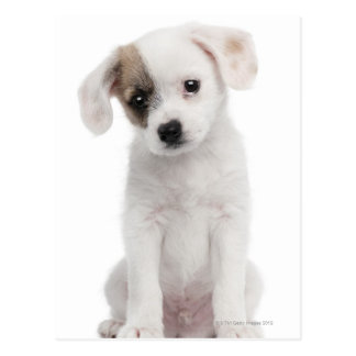 Cross breed puppy (2 months old) postcard