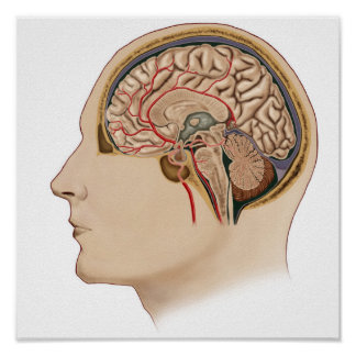 Cross Section Of Brain With Arteries Poster