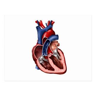 Cross Section Of Human Heart Postcard