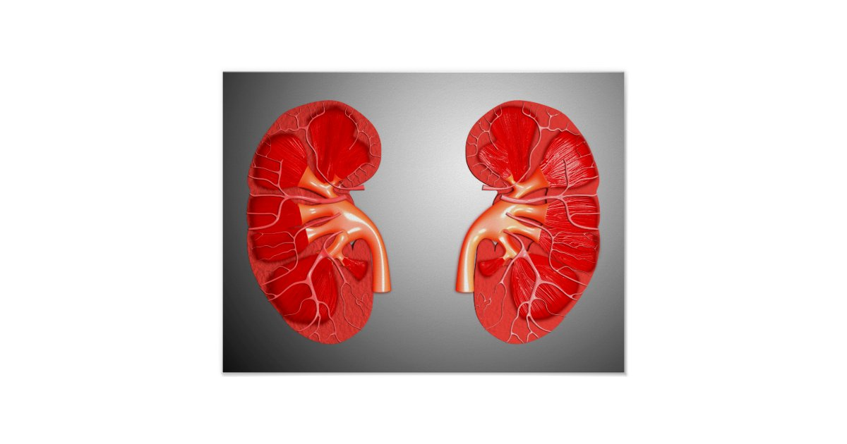 Cross-Section Of Human Kidney Poster | Zazzle.com