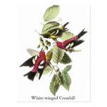 Crossbill Blanco-con alas - John James Audubon Postal