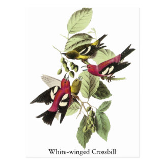 Crossbill Blanco-con alas - John James Audubon Tarjetas Postales