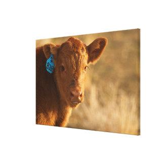 Crossbred Calf Canvas Print