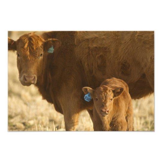Crossbred cow with calf near Choteau, Montana, Photo Print