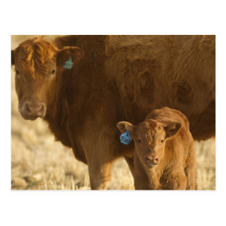 Crossbred cow with calf near Choteau, Montana, Postcard