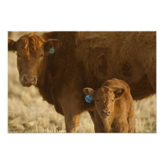 Crossbred cow with calf near Choteau, Montana, Poster