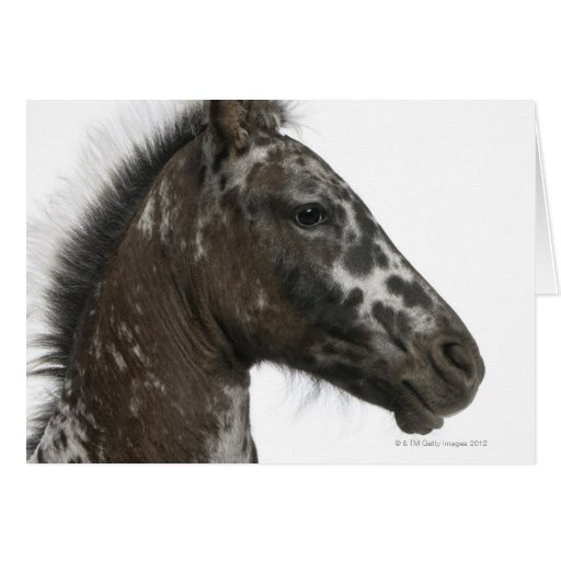 crossbreed Foal between a Appaloosa and a Greeting Card