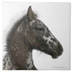 crossbreed Foal between a Appaloosa and a Large Square Tile