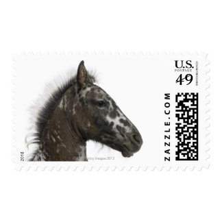 crossbreed Foal between a Appaloosa and a Postage