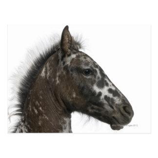 crossbreed Foal between a Appaloosa and a Postcard