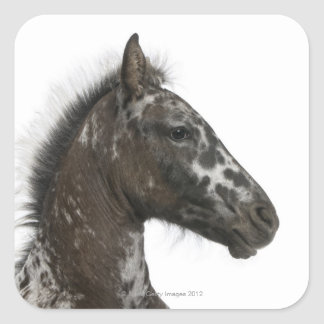 crossbreed Foal between a Appaloosa and a Square Sticker