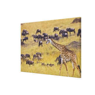 Crossing of the Mara River by Giraffes and Canvas Print