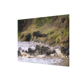 Crossing of the Mara River by Zebras and Canvas Print