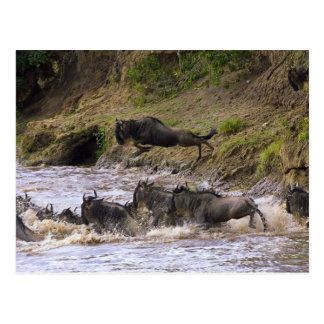 Crossing of the Mara River by Zebras and Postcard