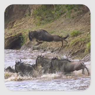 Crossing of the Mara River by Zebras and Square Sticker