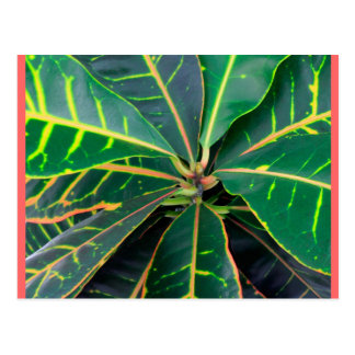 Croton Green Leaves Background Postcard