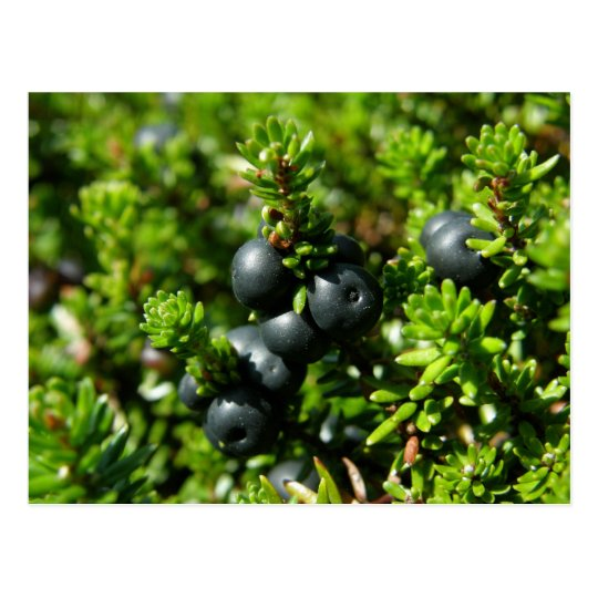 Crowberries on Unalaska Island Postcard