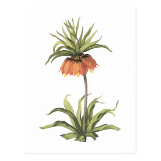 crown imperial(Fritillaria imperialis) by Redouté Postcard
