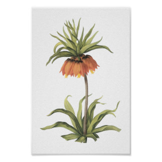 crown imperial(Fritillaria imperialis) by Redouté Poster