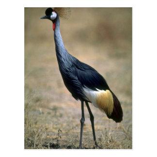 Crowned Crane Postcard