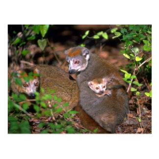 Crowned Lemur pair with infant Postcards