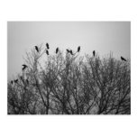 Crows on Tree Top- Postcard