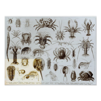 Crustacea and Arachnida Poster