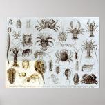 Crustacea and Arachnida Posters